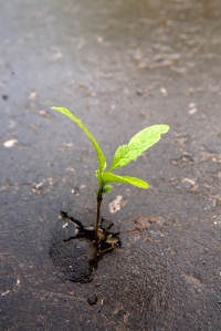 Growing green sprout in asphalt