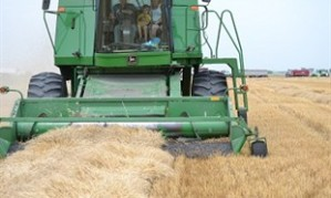 A CFGB growing project at Niverville, MB harvests its 2012 crop.
