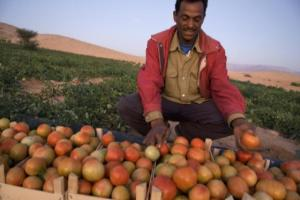 Mahmoud Hassan sorts tomatoes he picked in the field where he works in Wadi Araba. The crops were grown with water from an MCC-supported water catchment project.