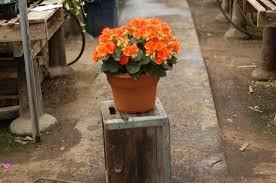 Cory's begonia