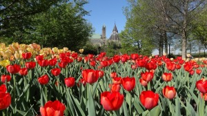 Parliament_Hill_among_red_tulips
