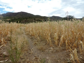 A corn crop unable to reach full maturity
